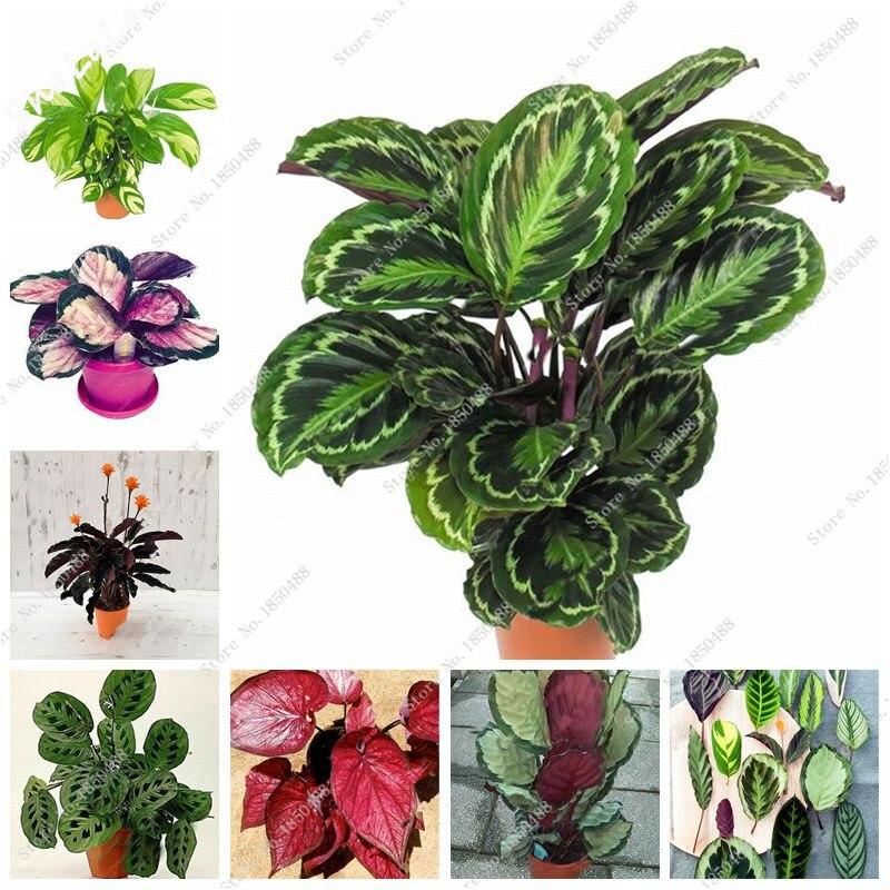 Rare caladium seeds caladium plants elephant ear for Plants de fleurs