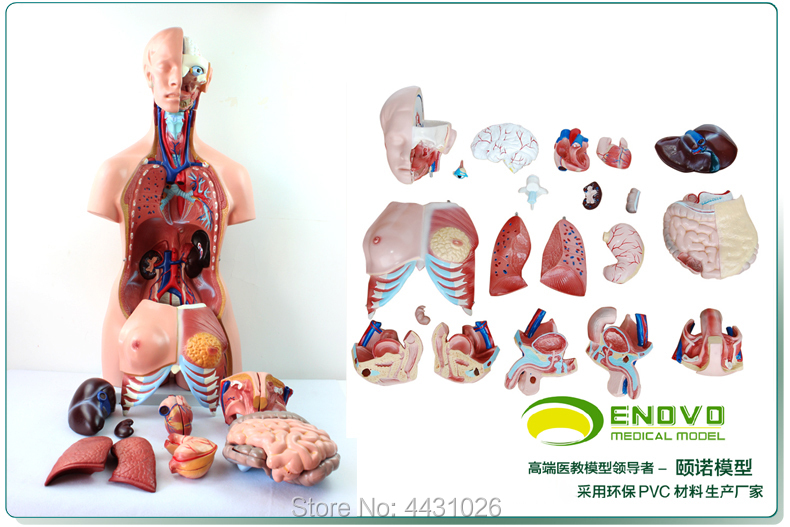 ENOVO Anatomy of trunk viscera (three types) of human organ structure model
