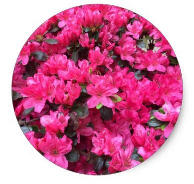 1.5inch Fuchsia Azaleas Rhododendron Classic Round Sticker