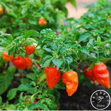 India Devil Hot Chili Courtyard Garden Potted Green Organic Vegetable Seeds World's most Chili – 100 Seeds/lot,#FWIDA5