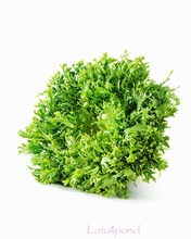 100 Bitter chrysanthemum seeds  milk vegetables, Chinese natural wild  vegetables, salad, yellow heart, thin leaves bonsai