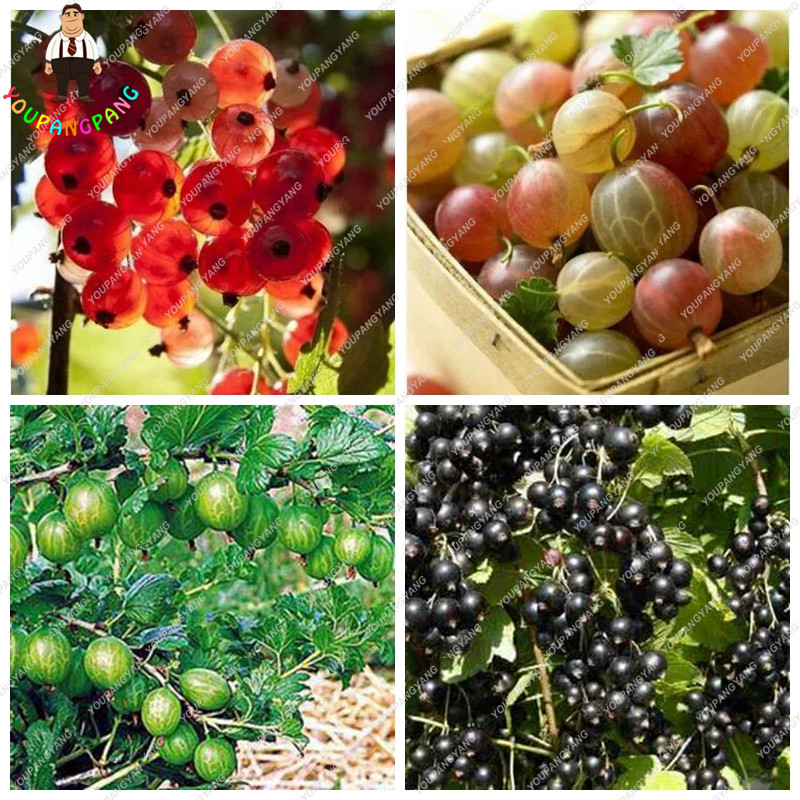Deliciouse Gooseberry Fruit, Juicy Currant Seeds Organic Fruit Seeds Nutritious Bonsai Seeds Plant For Home Garden Pot 50Pcs/bag