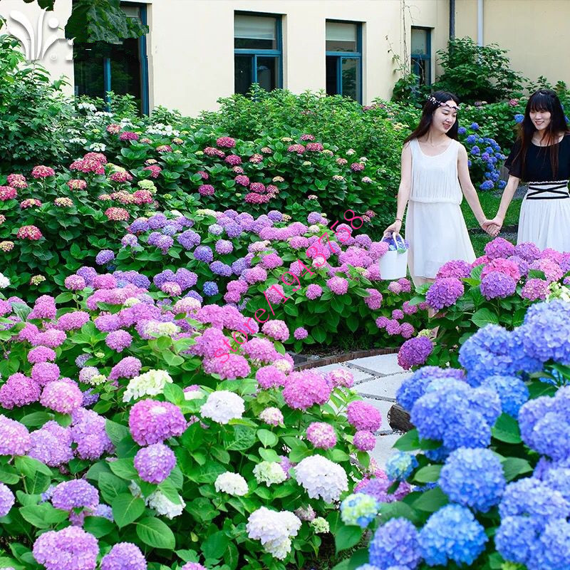 20 pcs hydrangea seed, blue hydrangea, China hydrangea flower seeds, bonsai seeds for home garden plants