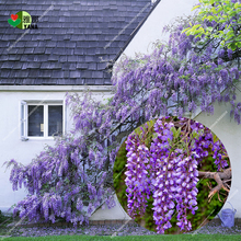 лучшая цена 10 pcs/bag Wisteria seeds Wisteria sinensis tree for home garden flower seeds  purple rattan tree for garden plant