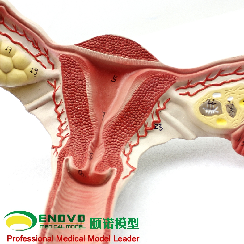 Female Internal Reproductive System Anatomical Model Uterus Ovary ...