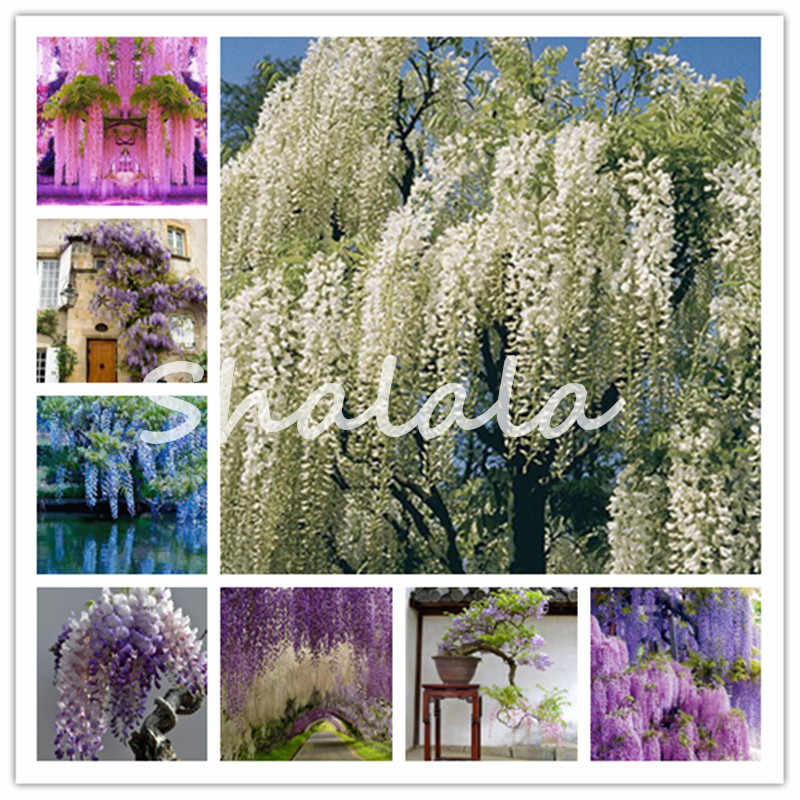 20 Pcs Climbing Wisteria Perennial Flower Bonsai For The Garden Purple Flower Seedlings Creeping Vine Sements Flores Plantes