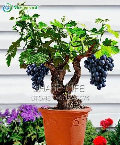 Courtyard Plants Grape Bonsai Delicious Fruit Easy To Grow DIY Home Garden 50 Particles / Lot Bonsai