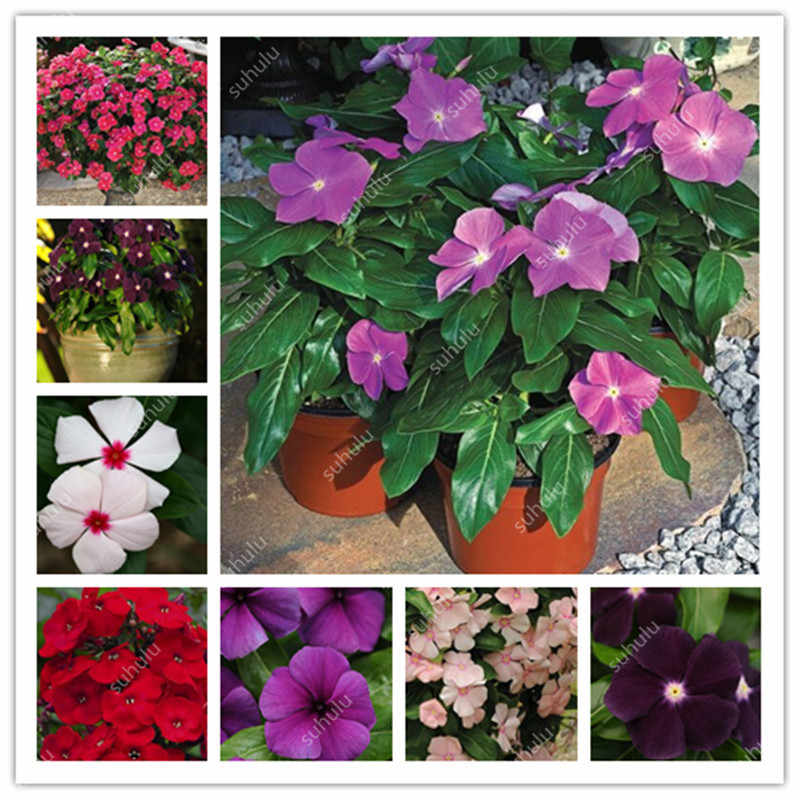100 Pcs Exotic Periwinkle Bonsai Flower Vinca Jardin Blooming Flowers Potted Mini Plant For Home Flower Pot Light Up Your Garden