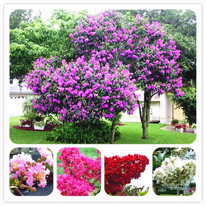 100 шт./пакет Креп Миртл Lagerstroemia индикатор 'Natchez' многолетние бонсай двор мирт цветы дома горшок для садового растения