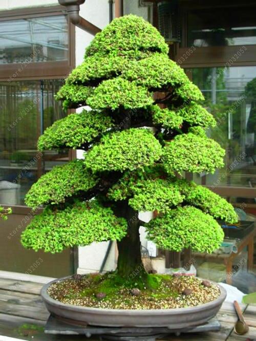 Бонсай 100 шт./пакет священный японский кедр бонсай декоративное дерево для домашнего сада
