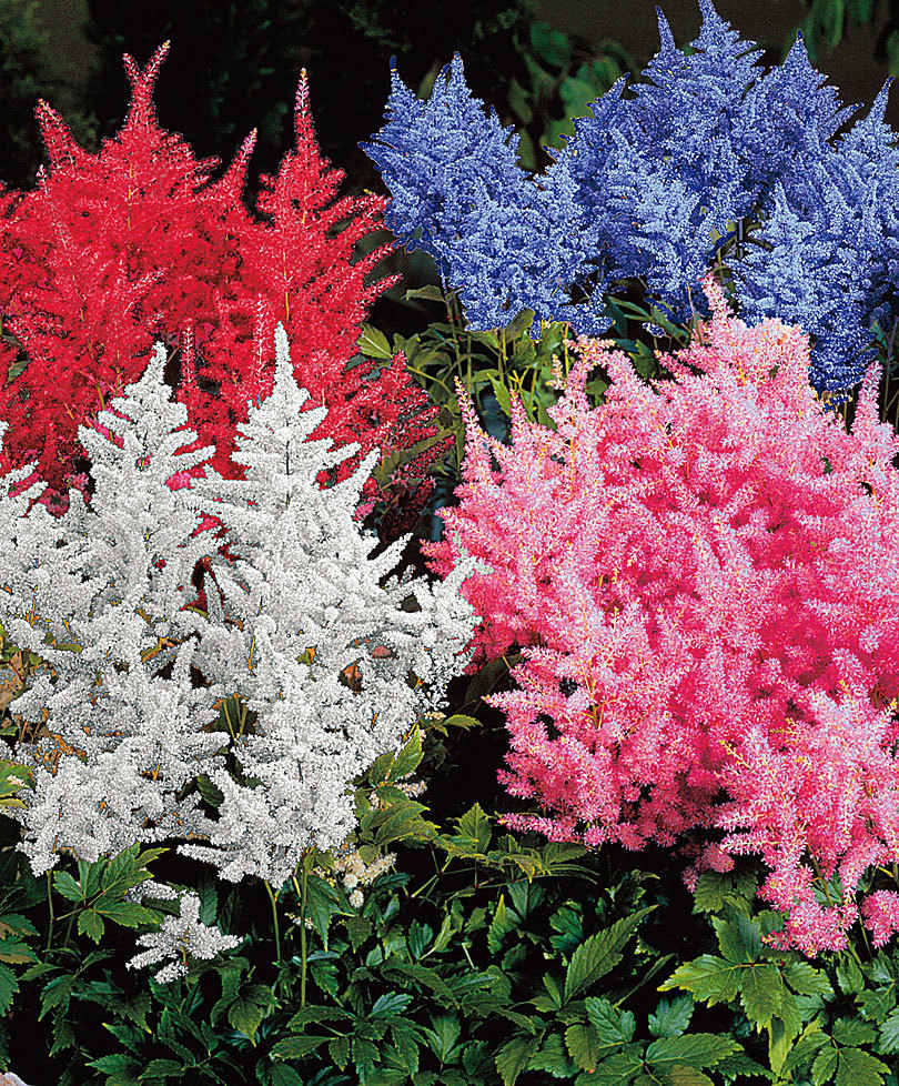 100 Pcs/pack astilbe plant exotic beautiful potted flower flores,charming color and refreshing air bonsai plantas for home garde