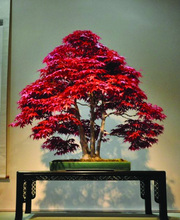 10pcs Red Japanese Maple Palmatum Atropurpureum seeds