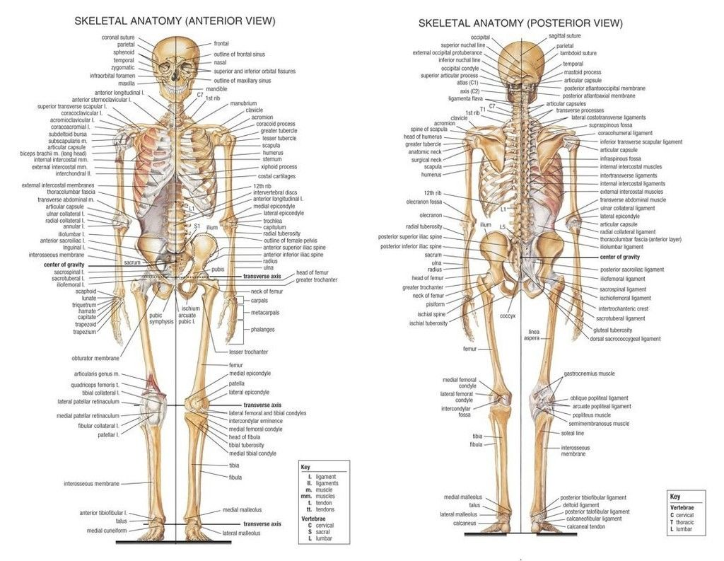 Skeletal System Anatomical Chart Poster 17 X 13 Decor 07