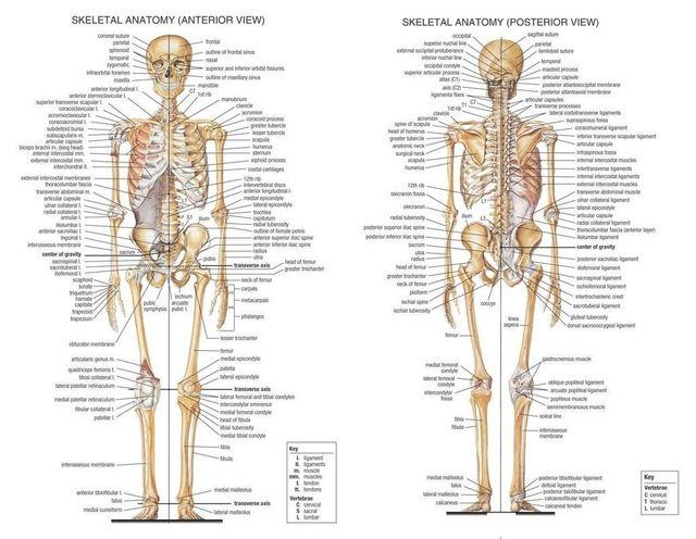 Skeletal System Anatomical Chart Poster 17 X 13 Decor 07