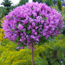 50 PCS Beautiful lilac flower clove bonsai trees Syzygium Aromaticum perennial outdoor plant for home garden