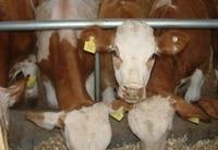 пустой сельскохозяйственных животных ушные бирки удостоверения личности тегов для корова крупный рогатый скот, свиньи, овцы, использование скота