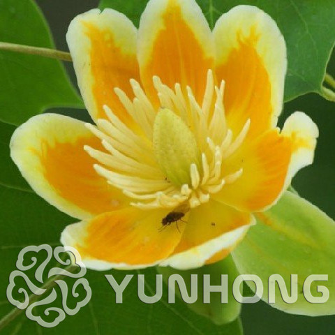 HOA GIEO TỨ TUYỆT - Page 5 50PCS-Family-Magnoliaceae-Liriodendron-Chinense-Seeds-Novel-Plant-Chinese-Tree-Seeds-Ornamental-Plant-E-Zhang-Qiu