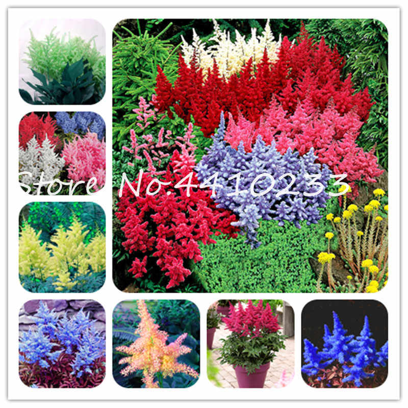 100 Pcs Astilbe Chinensis Pumila Bonsai Flowers Perennial Grass Plants,Mixed Tropical Flower Bonsai DIY Home Garden Land Miracle