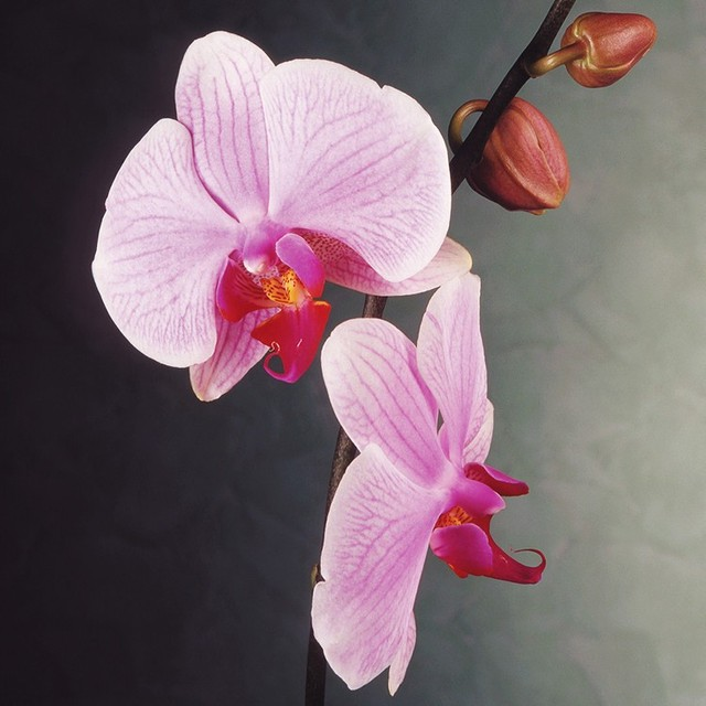 Rare Orchid Seeds, Phalaenopsis Orchids Seeds, 100pcs/pack