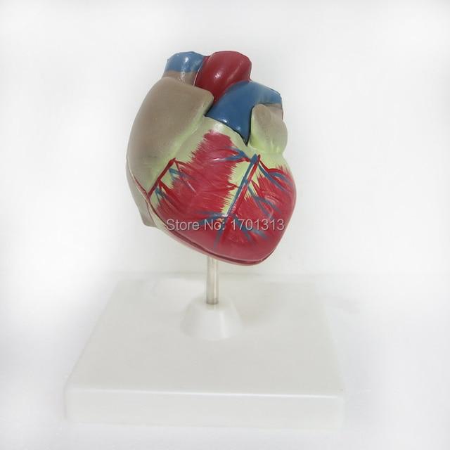1:1 PVC de Alta Qualidade Cardiac anatomy modelo ferramenta art ferramenta ferramenta de ensino de ensino Médico Clínica Figurinhas