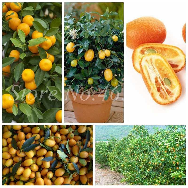 Promosi! 50 Pcs Balkon Teras Pohon Buah Kumquat Bonsai Garden Orange Flores Tangerine Dwarf Citrus Jeruk Juicy Buah Pohon