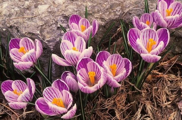 Saffron Seeds,Saffron Flower Seeds,Saffron Crocus Seeds, 100pcs/pack