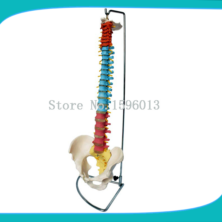 HOT Colorful/Didactic Vertebral Column with Pelvis,Color spine with pelvic model vertebral column model with pelvis femur heads and sacrum 45cm spine model with intervertebral disc