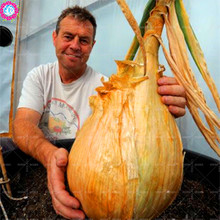 NEW 50 SEEDS – Giant Onion seeds. AILSA CRAIG Scottish heirloom a huge onion.Vegetable seed. Free shipping bonsai plant supplies