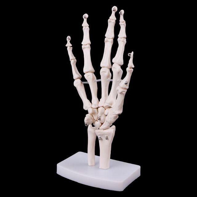 Medizinische requisiten modell Freies porto Hand Joint Anatomisches Skelett Modell Menschlichen Medizinische Anatomie Studie Werkzeug Lebensdauer Größe