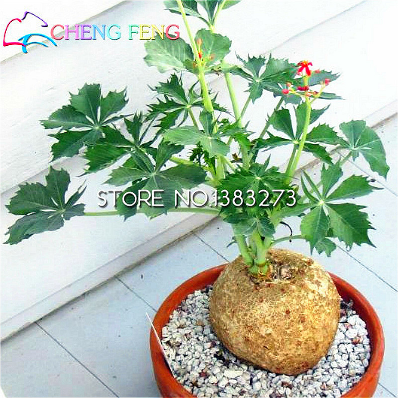 2016 Jatropha Seeds 30 Pcs Home Flower Seeds Sementes Bonsai Garden Seed  Tree A Rare Japanese