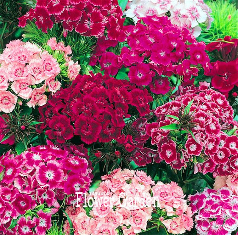 100 Pcs/Bag New Seeds 2016!Bulk Sweet William Seeds – Rare Color Amazing Beautiful DIY Home Garden Flower