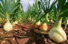 100 onion  Seeds Giant Onions Eksibishen Organic Russian Heirloom Vegetable Seeds for home garden
