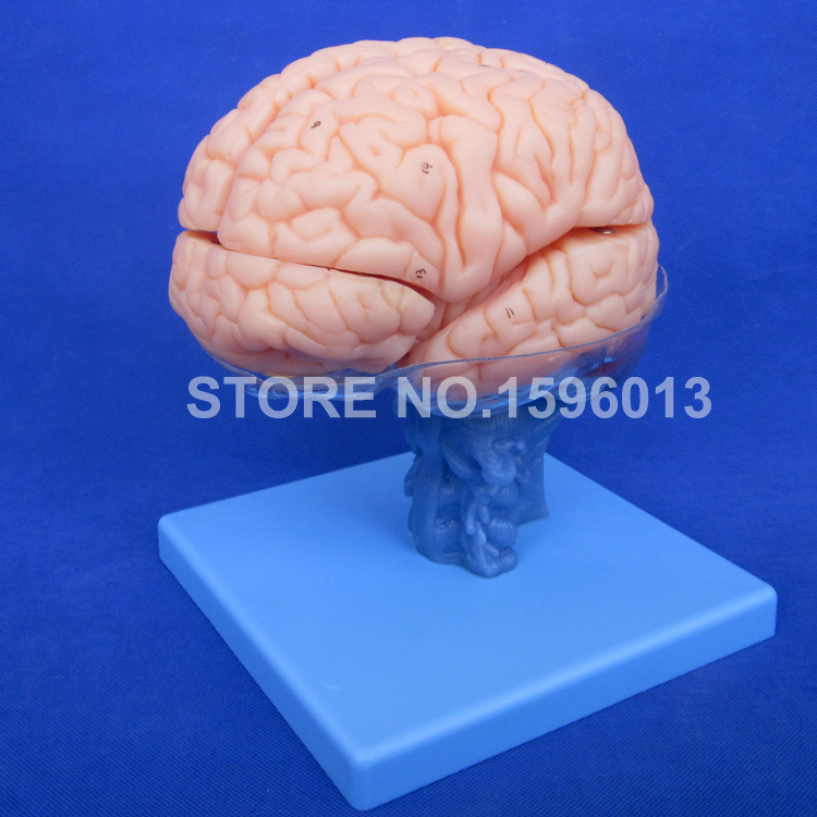 HOT 15 Parts Brain Anatomical Model, Advanced Brain Model, Desktop Teaching Brain Model human larynx model advanced anatomical larynx model