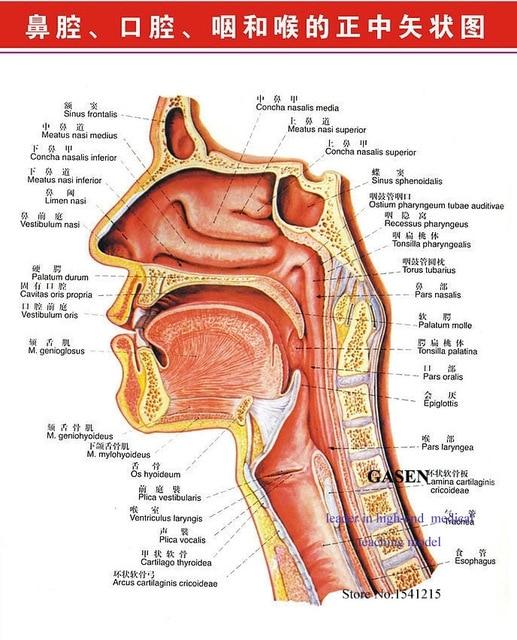 Medical Body Throat Nasal Pathology Model Anatomical Model