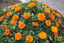Цветок календулы Семена, оригинальной Упаковке 30 шт. Сад бонсай семена цветов, легко Расти Календулы