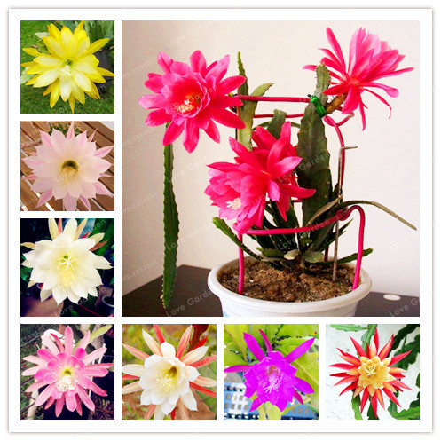 100-para-torba-nopalxochia-tohumlar-orkide-kakts-bitki-saks-lotus-tohum-tam-variety-bitki-kolay-su-z