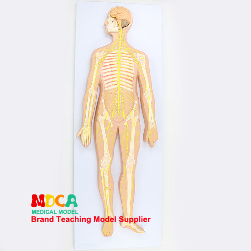 Medical teaching of central nervous system, brain and spinal cord neuroanatomy in human nervous system anatomical model MSJXT004