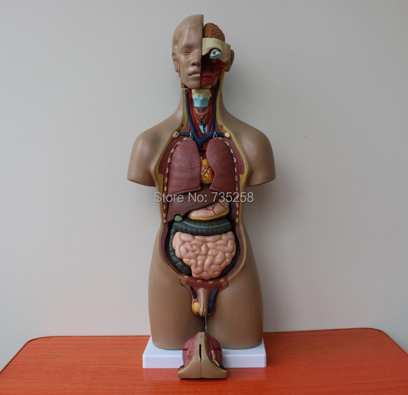 Сертификат за качество на ISO 55cm И двата пола 20 модел на торса, анатомичен модел на човешки ствол, модел за анатомия на тялото