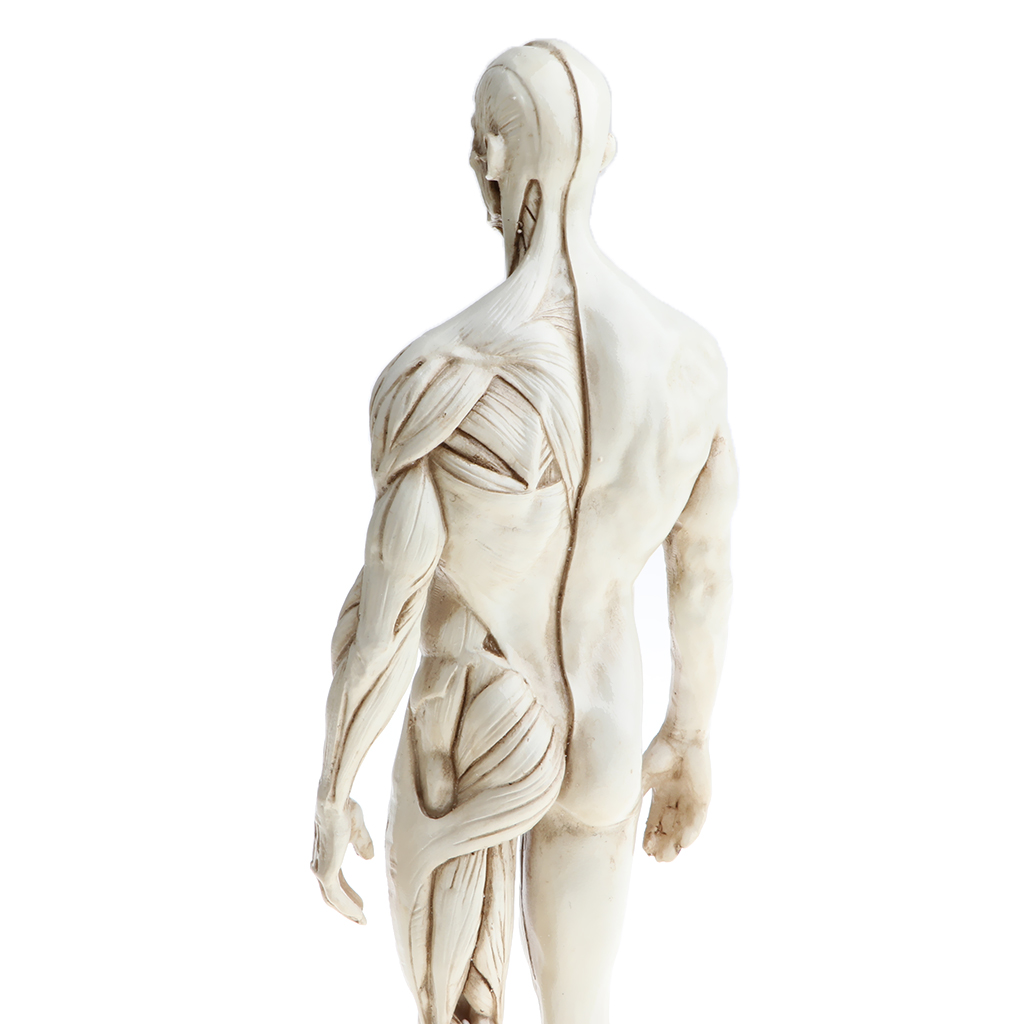 11 Inch Male Female Anatomy Figure Model Anatomical Reference For
