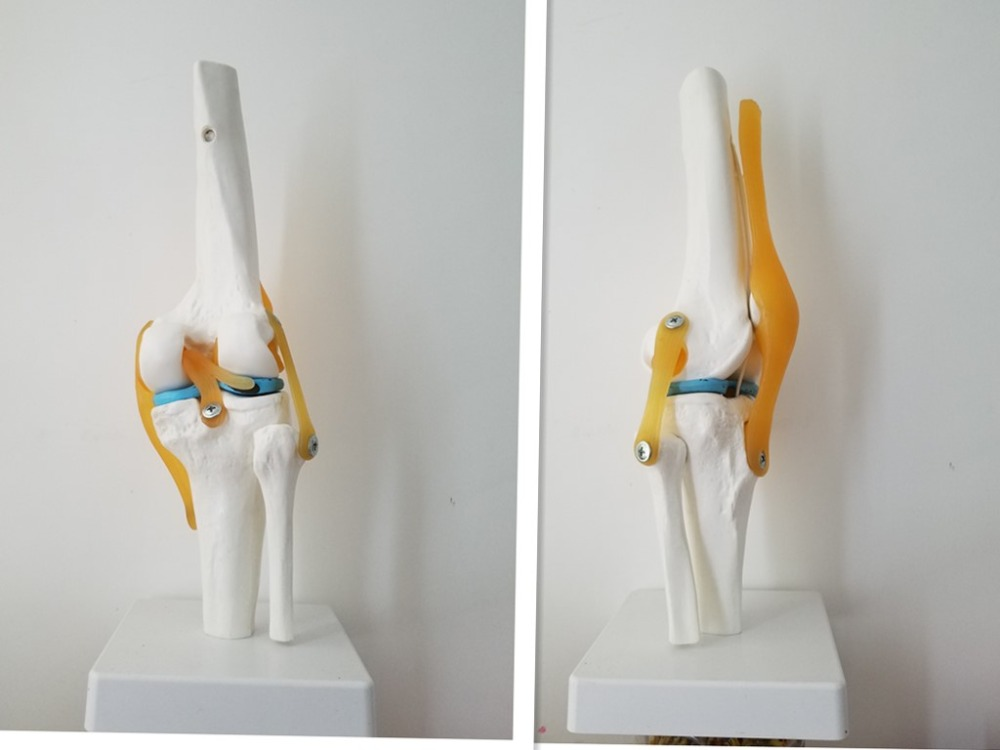 Human Knee Anatomy Skeleton with Ligaments Joint Model Medical Science Teaching life size hand joint with ligaments the palm of your hand with ligament model