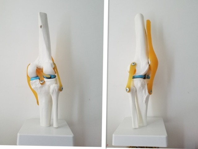 Human Knee Anatomy Skeleton with Ligaments Joint Model Medical ...