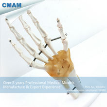 CMAM-JOINT04 Life-Size Hand Joint with Ligaments Human Anatomical Models,Education Models