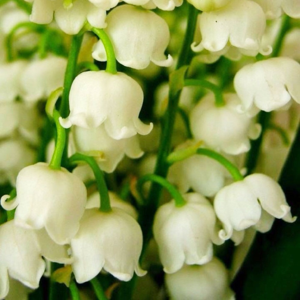 20 pcs lily of the valley flower seeds bell orchid seedsrich 20 pcs lily of the valley flower seeds bell orchid seedsrich aroma bonsai flower seed so cute and beautiful in bonsai from home garden on izmirmasajfo