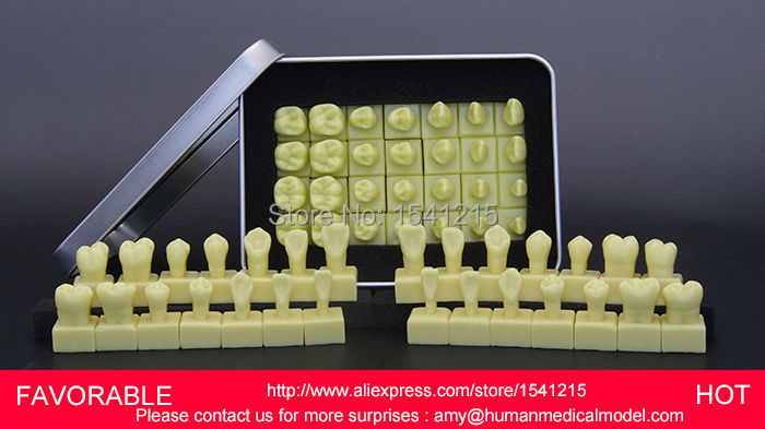 DENTURES DENTAL TEACHING MODEL TOOTH MODEL DENTAL TEETH MODEL DENTAL TOOTH ,1.2 TIMES THE TOOTH CROWN MODEL-GASEN-DEN037 good quality dental removable dental model dental tooth arrangement practice model with screw teaching simulation model