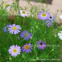 wild river daiplanty chryplantanthemum flower germination rate of plant 200g / Pack