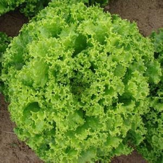 Large fast-growing lettuce seed 200 seeds