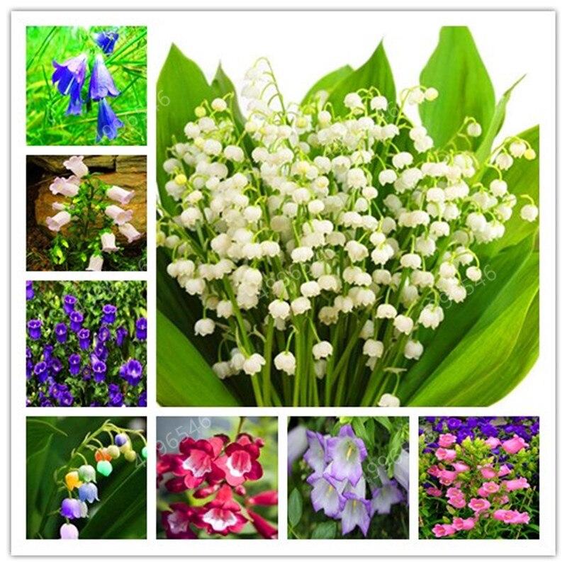 100 Pcs  Rare Campanula Bonsai Imported Chile Rosea Plant Outdoor & Indoor Chilean Bellflower Garden For Flower Pot Planter