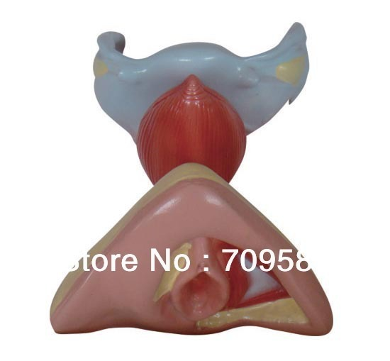 ISO Female Internal and External Genital Organs, Anatomy Genitals model