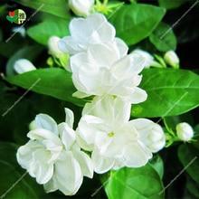 Arabian jasmine pure white Jasmine plant beautiful bonsai flower  in pot indoor plants for home garden 10 pcs/bag