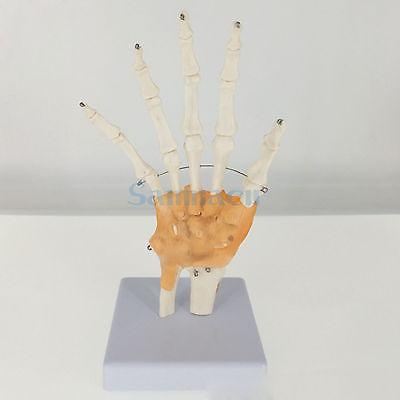 Leben Größe Hand Joint mit Bänder Anatomischen Medizinische Modell ...